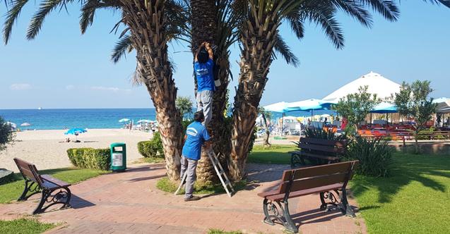 Alanya'da kırmızı palmiye böceği mücadelesi...